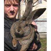 Продажа Кроликов-Гигантов породы Немецкий Ризен фото