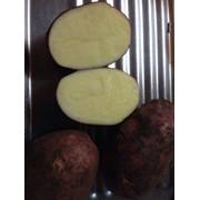 Картофель сорта Лаура фото