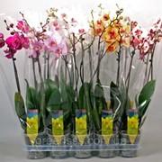 Орхидея Фаленопсис микс 10 цветов -- Phalaenopsis mixed 10 Clr. фото
