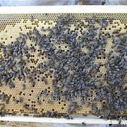 Пчелопакет Карника фото