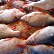 Речная рыба фото