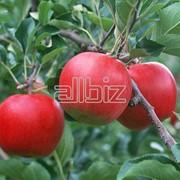 Яблоки красные фото