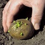Картофель для посадки оптом в Алматы фото