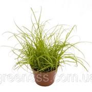 Циперус Зумула -- Cyperus Zumula фото