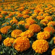 Семена цветов бархатцев Антигуа F1 африканские 100 шт. оранжевый фото