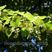 Липа цветки ( Tilia Cordata flos) фото