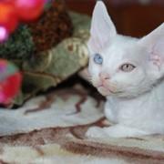 Уникальный разноглазый котенок - белый король, породы девон рекс фото
