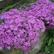 Флокс шиловидный.Цветы и цветоводство фото