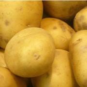 Семенное хозяйство реализует картофель элитных сортов Санте фото