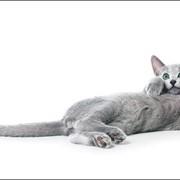 Чистопородные здоровые русские голубые котятя фото