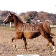 Лошади беговые фото