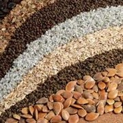 Продажа и закупка семян: Люцерна, Экспарцет, Суданская трава, Кореандр, Семена лука фото