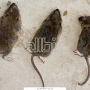 Уничтожение крыс г. Николаев и Николаевская обл. фото