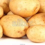 Картофель Гатчинский фото