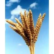 Пшеница озимая мягкая, пшеница озимая, озимая пшеница мягкая, пшеница. фото