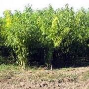 Продажа саженцев садовых растений, яблони, груши, черешень фото