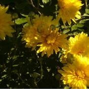"""Хризантема корейская """" Йеллов Бриетнер"""" Chrysanthemum """"Yellow Brietner"""" фото"""