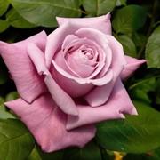 Розы чайно-гибридные, Роза Шарль де Голль фото