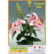 Лилия Восточный гибрид Crystal Star фото