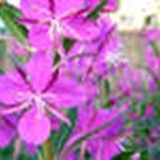 Чай Иван-чай «Цветочный» фото