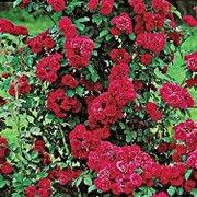 Розы вьющиеся красные фото