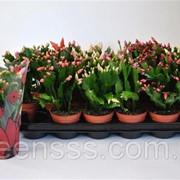 Шлюмбергера микс 4 цвета -- Schlumbergera mixed 4 Clr. фото