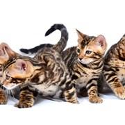 Бенгальский котенок фото