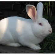 Купим кроликов живым весом,шкуру кролика фото