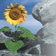 Соняшник (імпорт) 1 п.о Nk Rocky фото