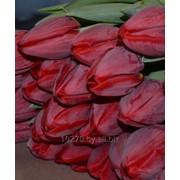 Луковицы тюльпанов. фото