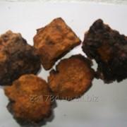 Чага(берёзовый гриб) фото
