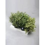 Фикус Ficus benjamina Mix 2 фото