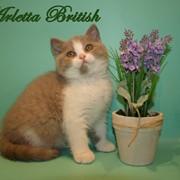 Британский котенок биколор фото