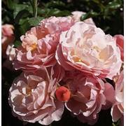 Розы бордюрные, Marie Curie фото