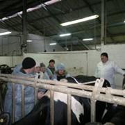 Кормление в молочном животноводстве, эффективные рационы фото