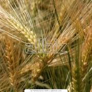 Пшеница посевная элитный сорт Богатка фото