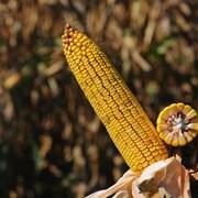 Гибридные семена кукурузы подсолнечник сои люцерны фото
