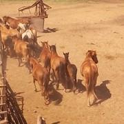 Продажа Лошадей фото