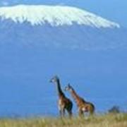 Восхождение на вулкан Килиманджаро, 5895м и сафари и по национальным паркам Танзания, Юго-Восточная Африка фото