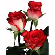 Розы Блаш фото