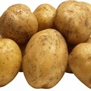 Картофель сорта Рокко фото