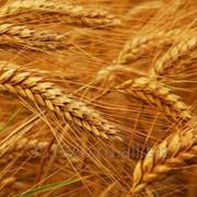 Пшеница 3 класс фото