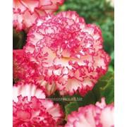 Бегония Marmorata Pink-White 5/6 фото