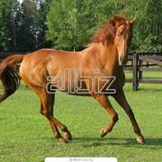 Лошади племенные фото