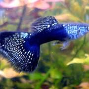 Рыбка гуппи фото