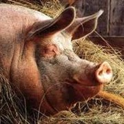 Кормовая добавка БВМД свиньи откорм 10% фото