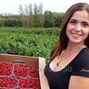 Трудоустройство в Польше Сборщики малины фото