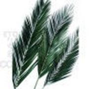 Феникс пальма лист 80/120 зеленый фото