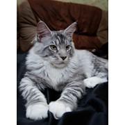 Продам котят породы Мейн- Кун фото