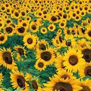 Семена подсолнечника «Украинский F1» фото